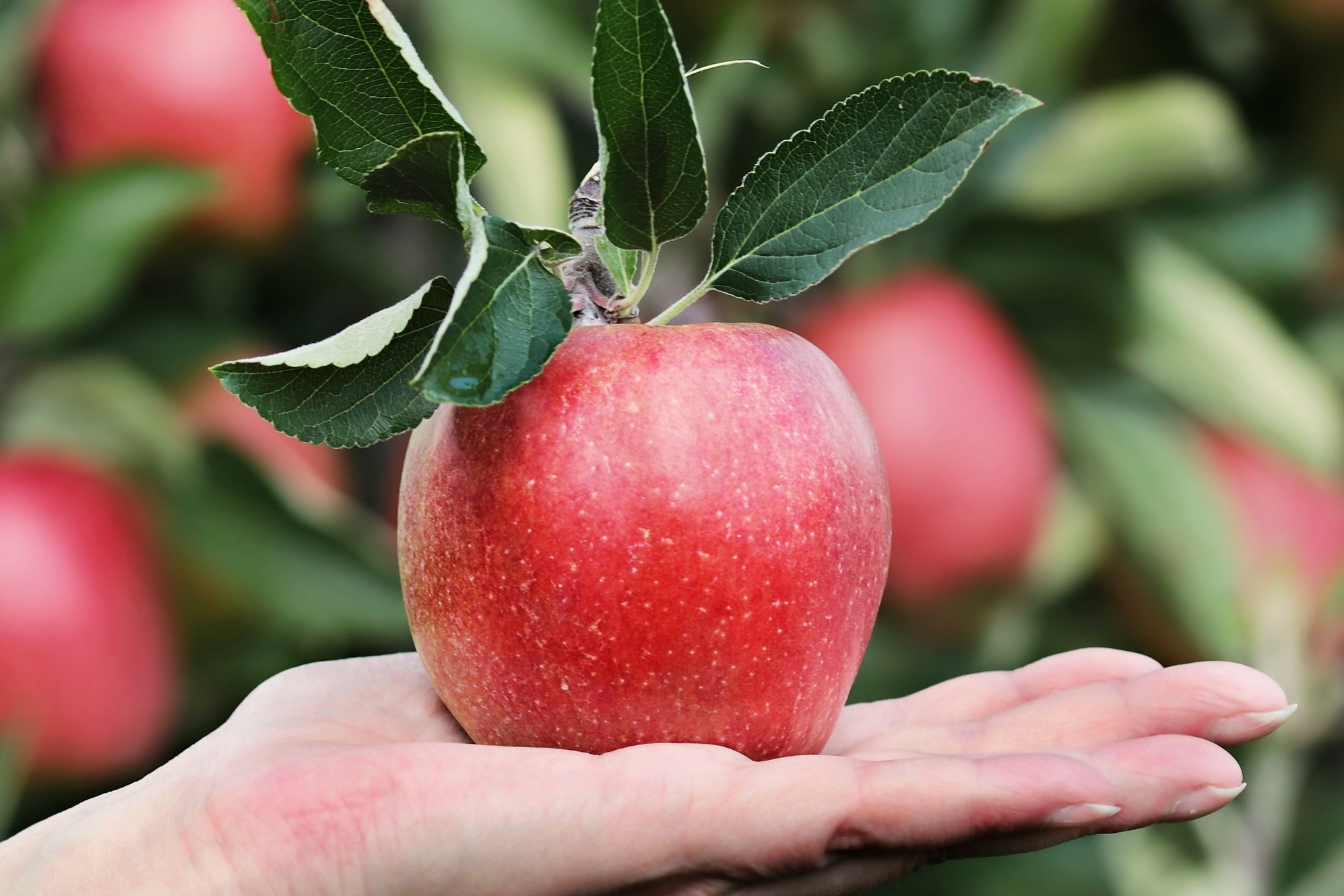 Яблоки по науке